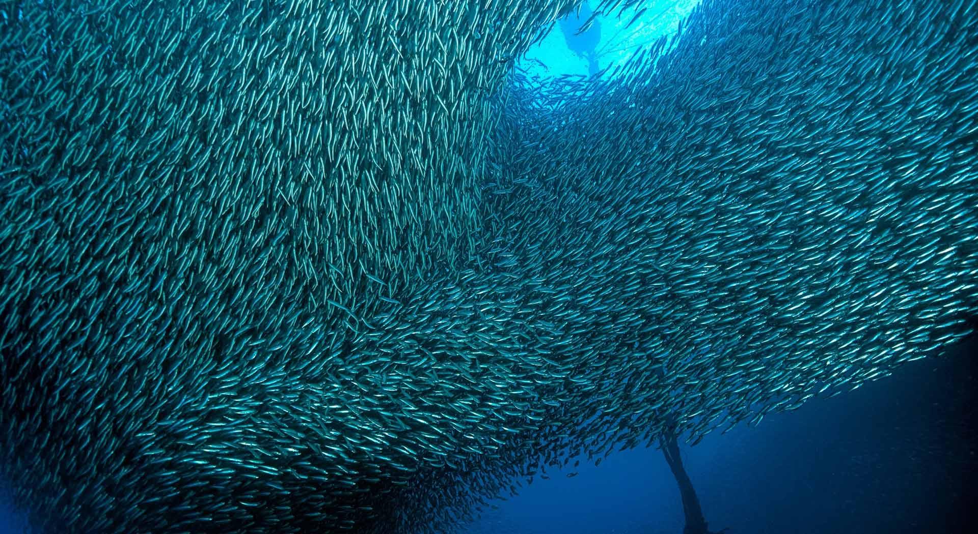 Acciughe liguri di Bel Fish Food: esclusivi piatti pronti, facili e veloci da preparare, per portare in pochi minuti in tavola tutto il gusto del mare